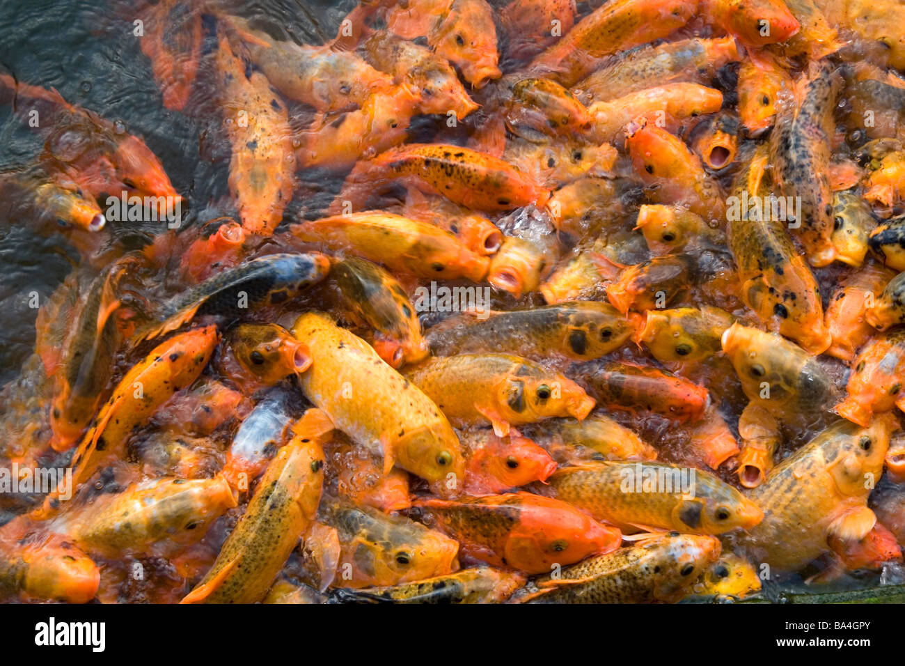 Ornamental koi fish in a pond at the imperial citadel of for Ornamental fish for pond