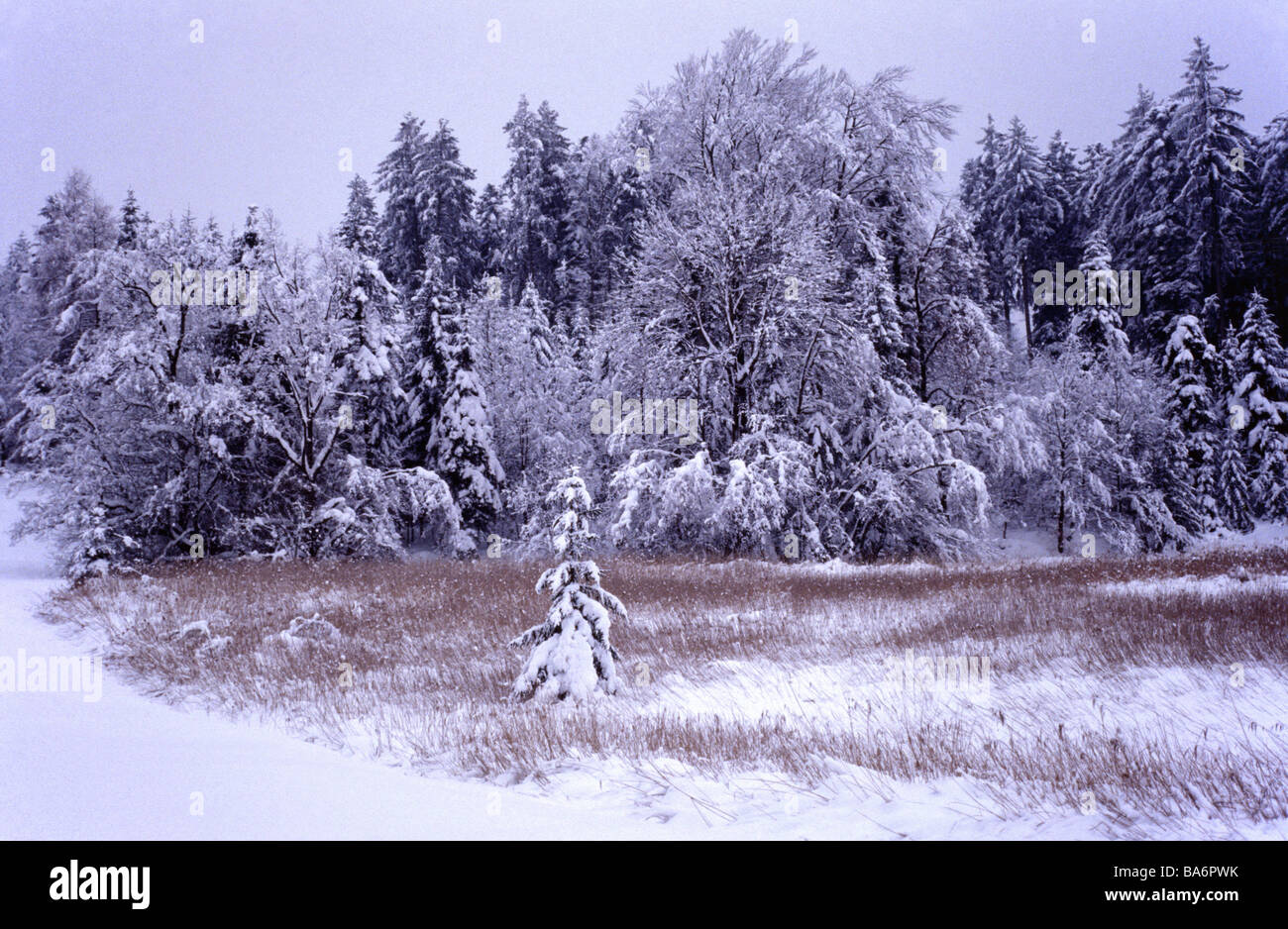 Winter-forest winter-landscape landscape forest trees plants snow-covered  gotten snowed in snow cold season winters wintry