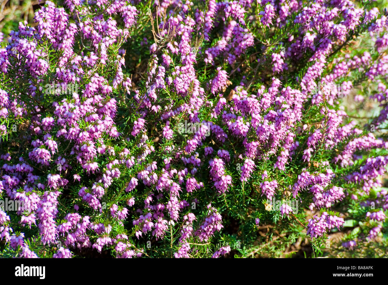 erica plant blooming with pink or purple blossoms. Black Bedroom Furniture Sets. Home Design Ideas