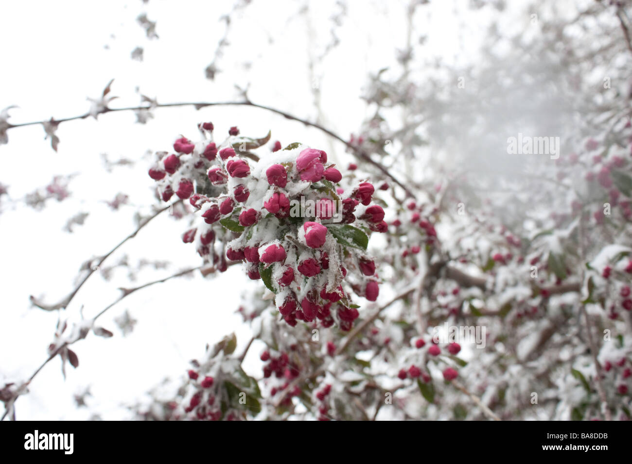 a-closeup-photo-of-crabapple-blossoms-covered-in-snow-BA8DDB.jpg