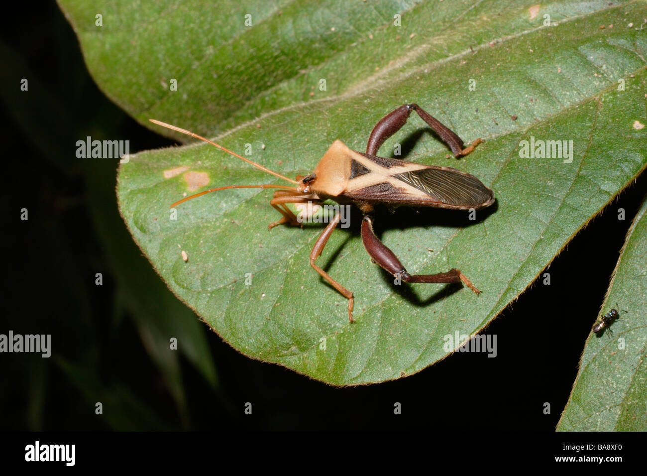 Leaf Footed Bug Stock Photos & Leaf Footed Bug Stock Images - Page ...
