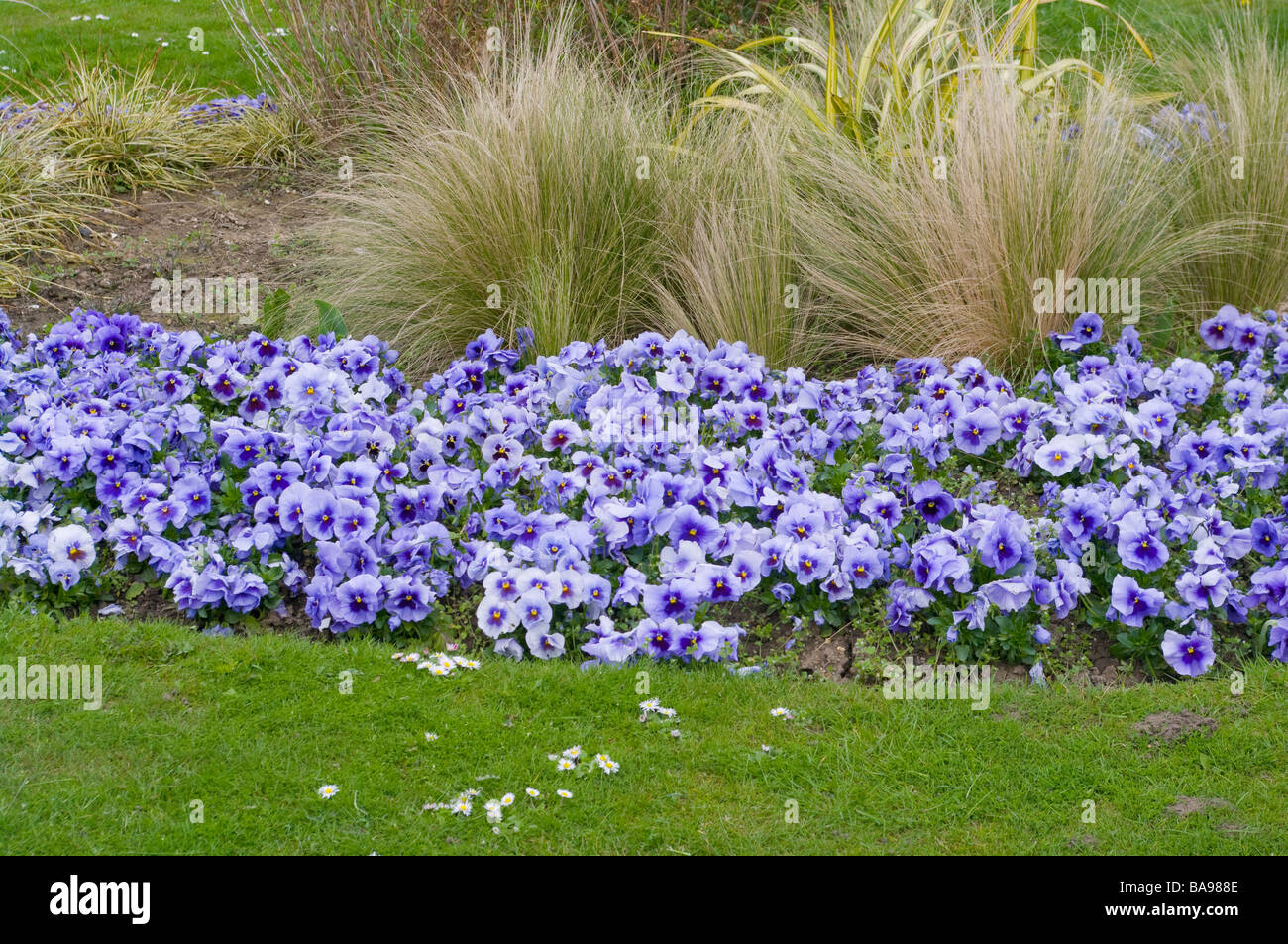 Flower bed of blue pansies and ornamental grasses spring for Ornamental grass bed design