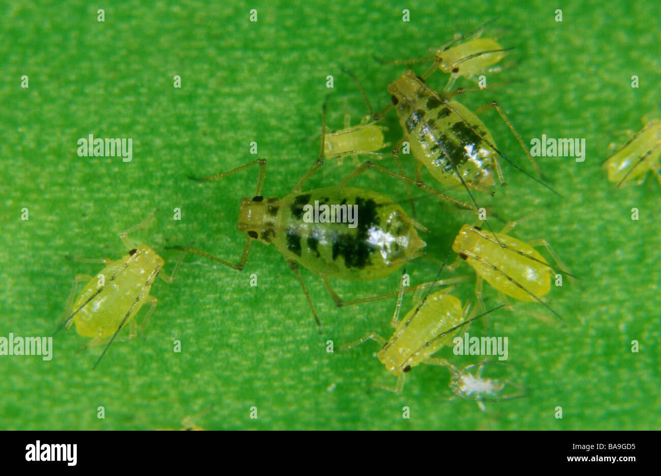 mottled-arum-aphid-aulacorthum-circumflexum-female-and-juveniles-on-BA9GD5.jpg