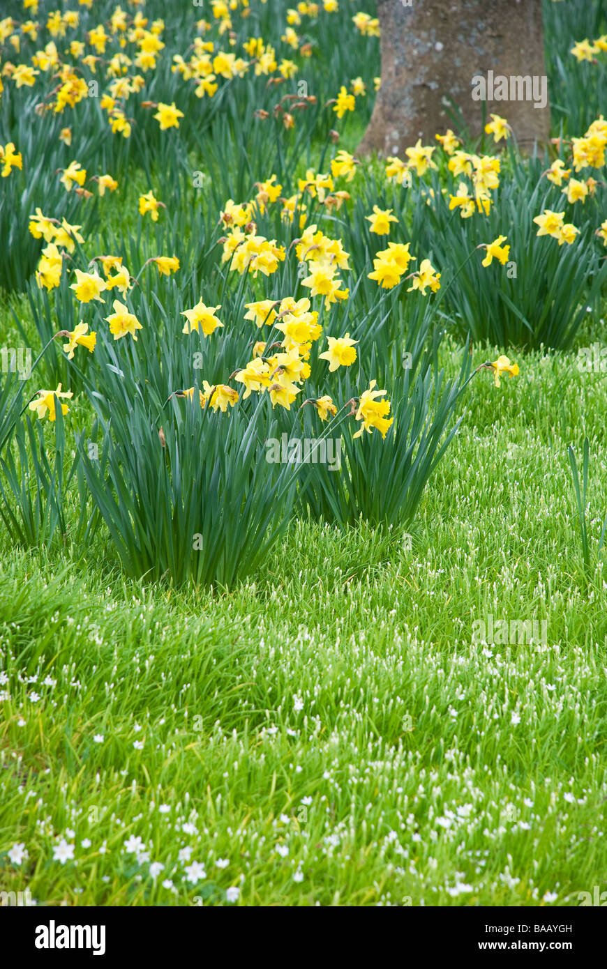 Daffodils on lawn of tiny white flowers stock photo royalty free stock photo daffodils on lawn of tiny white flowers dhlflorist Image collections