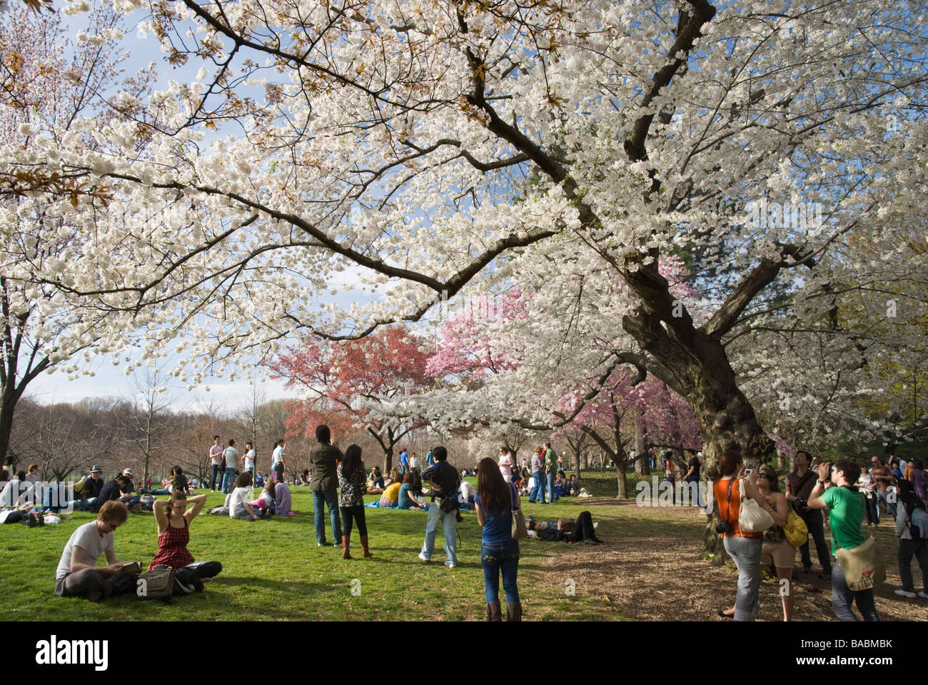 People Enjoying The Cherry Blossoms At The Brooklyn Botanic Garden On A  Beautiful Spring Day