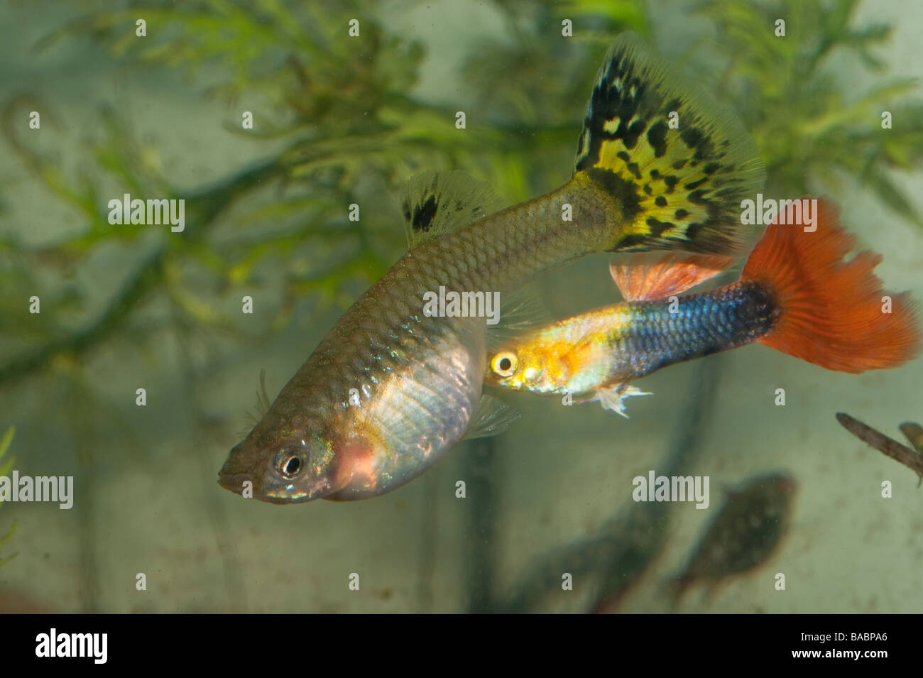 Small male guppy bites the abdomen of a pregnant female to for How long is a guppy fish pregnant