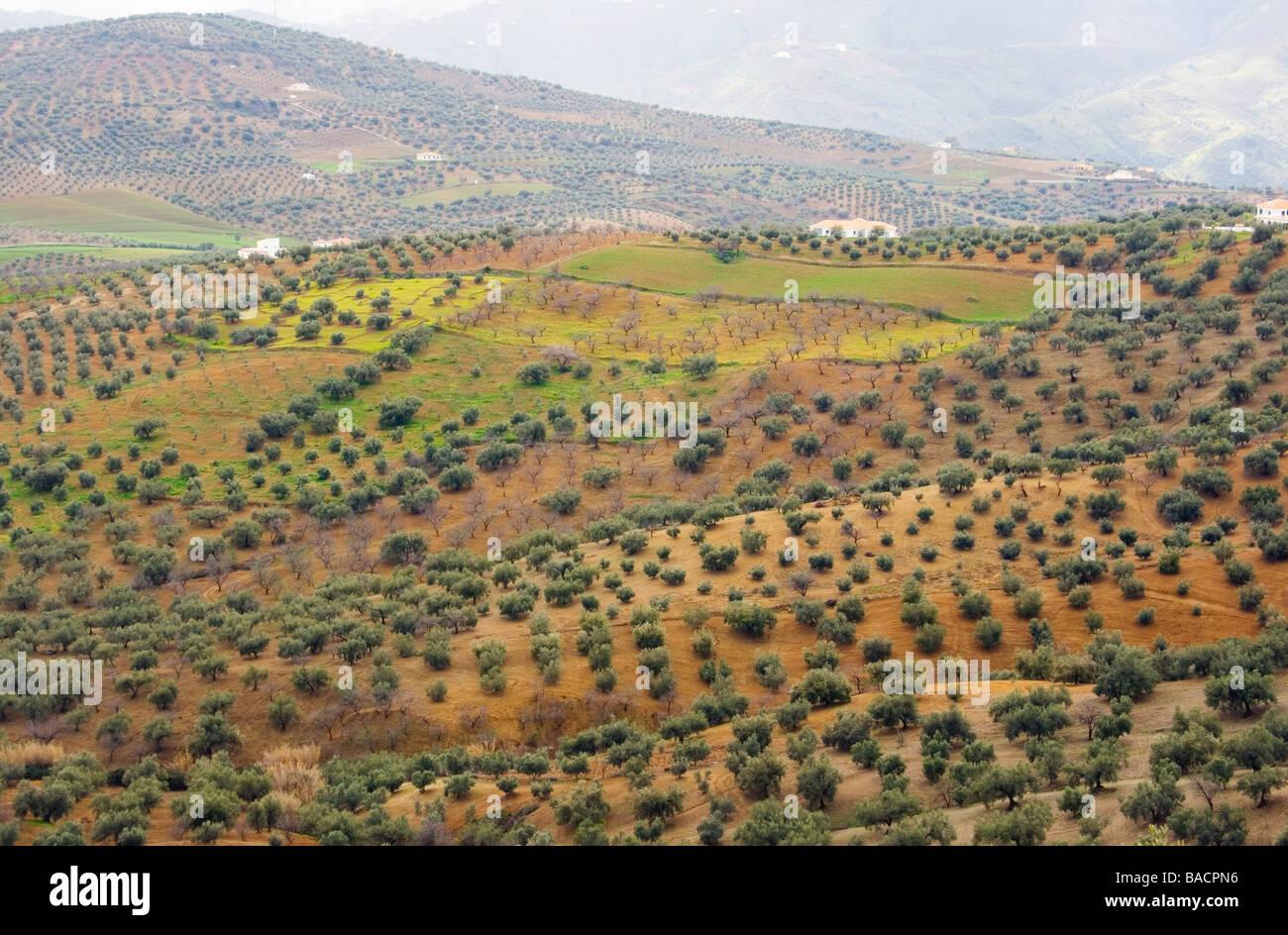 Axarquia Malaga Province Costa Del Sol Andalucia Spain Olive  # Muebles Mogar Malaga
