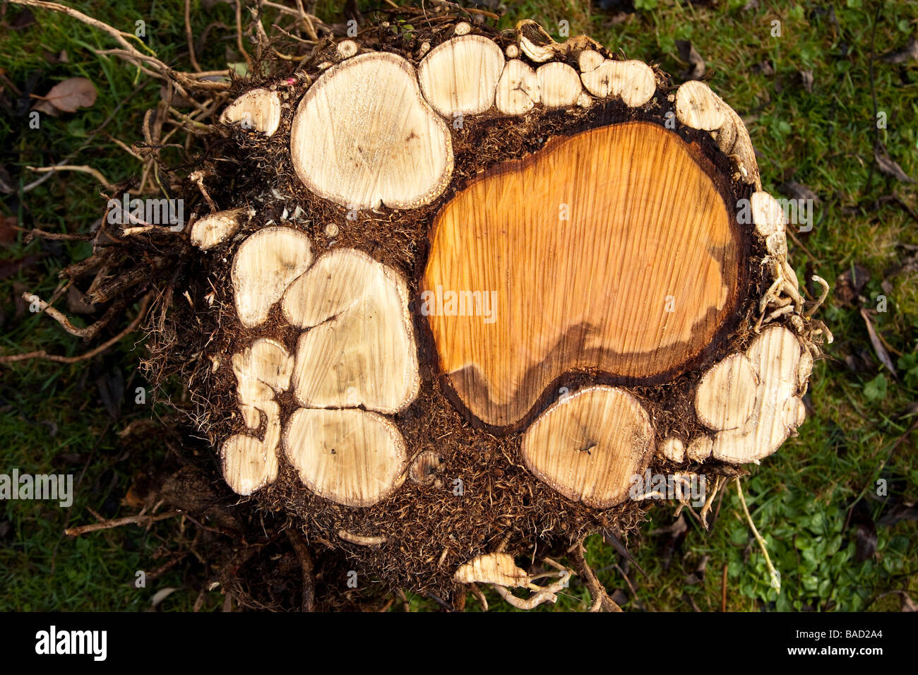 Cross section of tree trunk covered in ivy branches stock for What is a tree trunk covered with 4 letters