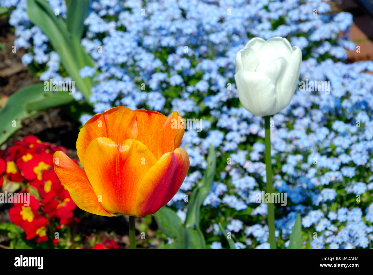South norwood park beautiful tulip flower composition stock photo south norwood park beautiful tulip flower composition izmirmasajfo