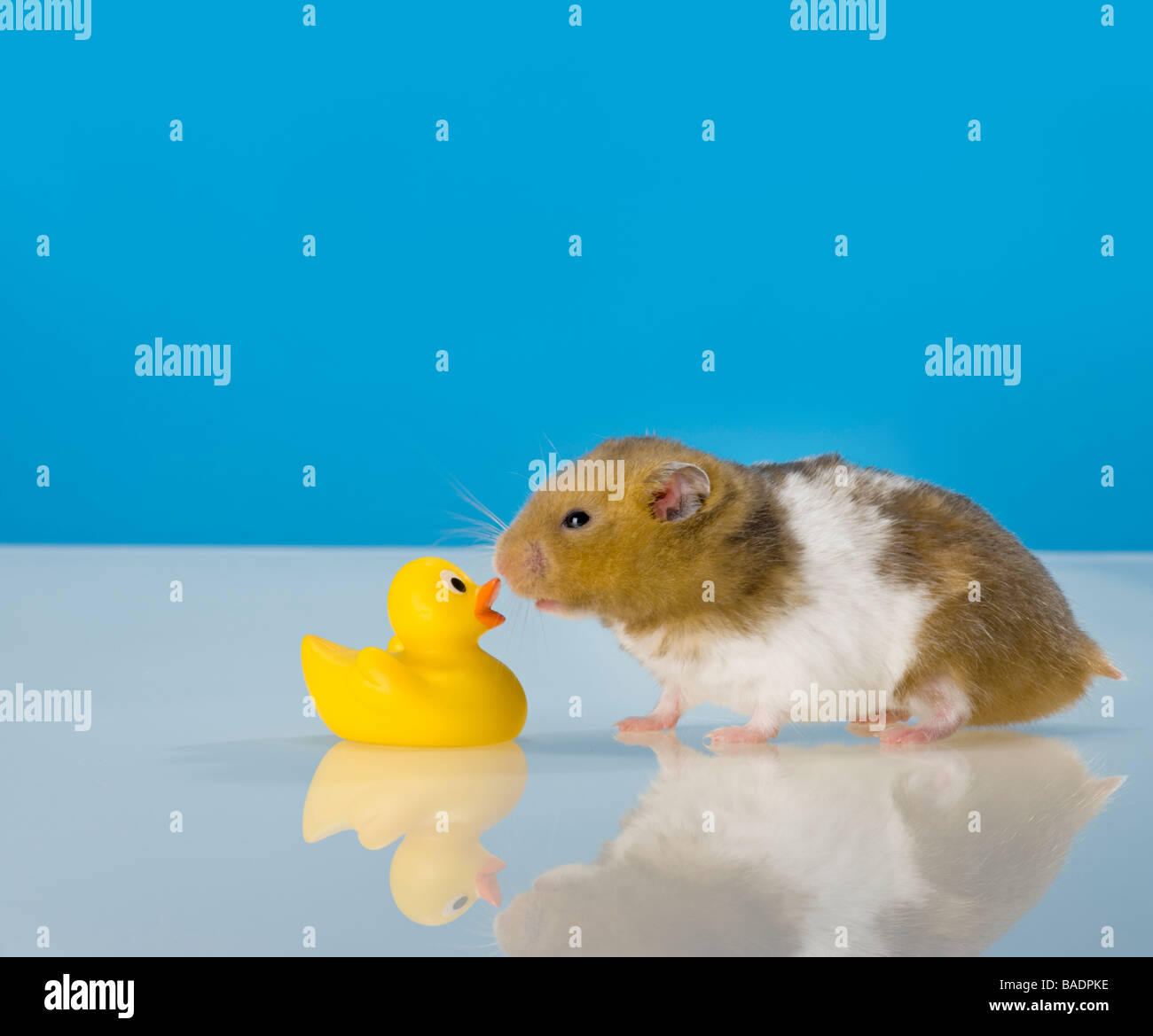 funny goldhamster hamster kissing yellow rubberduck kiss rubber