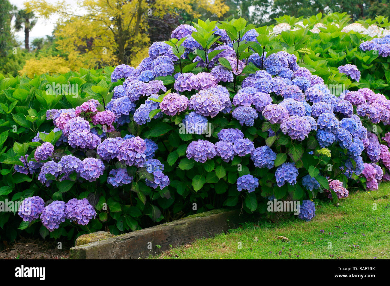 hydrangea macrophylla hamburg stock photo royalty free. Black Bedroom Furniture Sets. Home Design Ideas