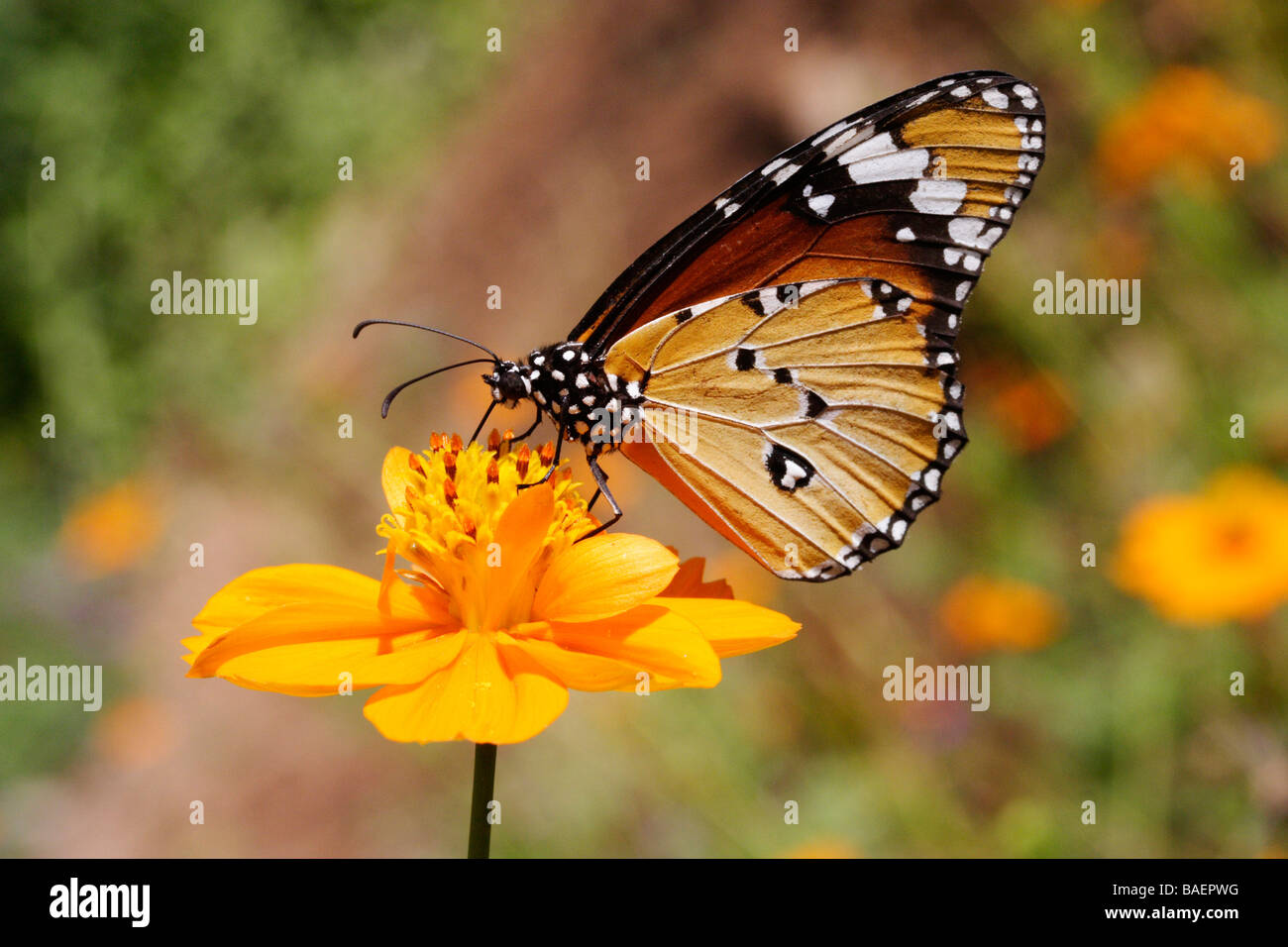 Beutiful beutiful butterfly landing on flower stock photo, royalty free