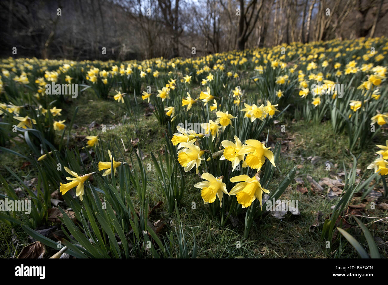 narcissus pseudonarcissus uk stock photos narcissus wild daffodils narcissus pseudonarcissus of farndale uk stock image