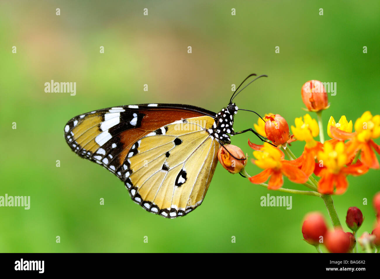 beautiful butterfly landing on flowers stock photo royalty free