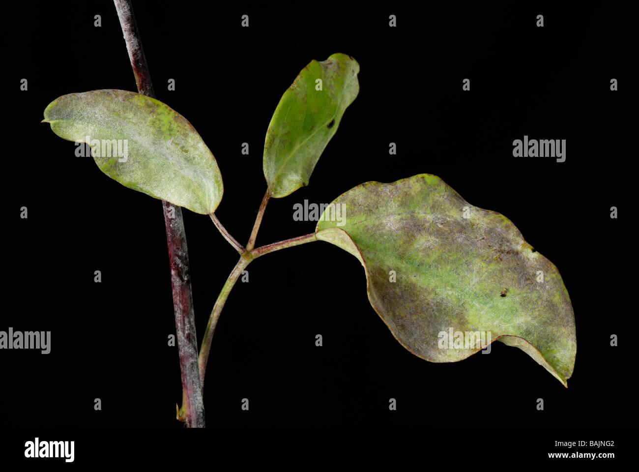Powdery mildew Microsphaera akebiae infection on chocolate vine ...