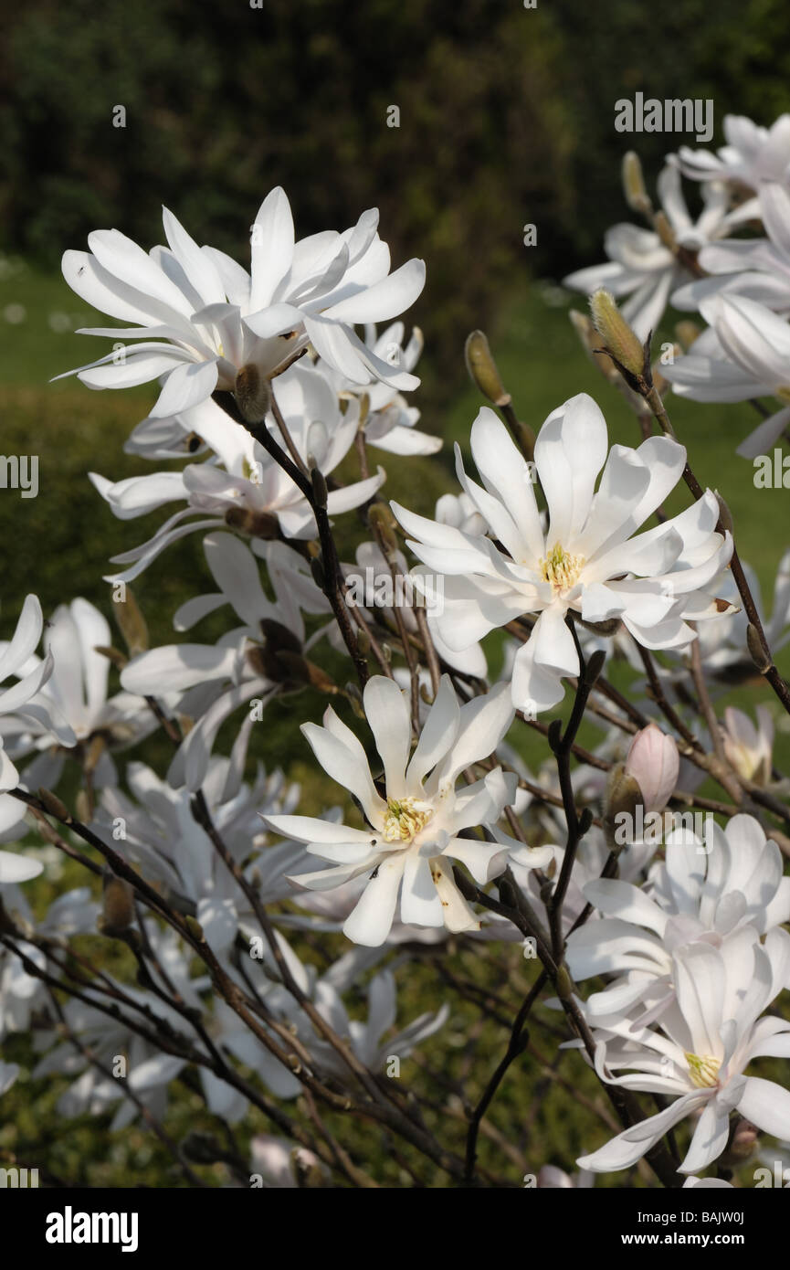 flowers of magnolia stellata a small white spring flowering stock photo 23771682 alamy. Black Bedroom Furniture Sets. Home Design Ideas