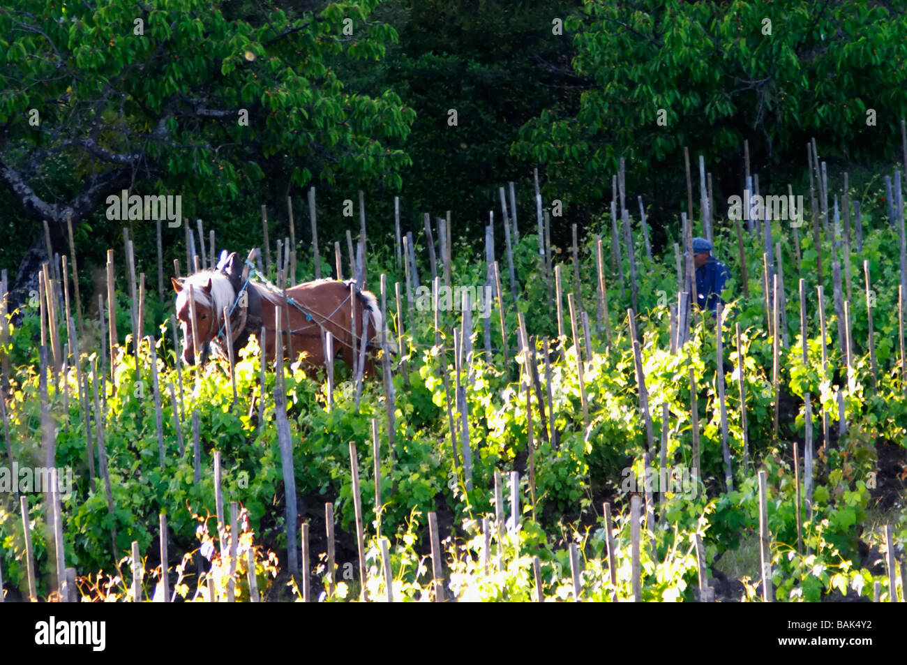 ploughing-the-vineyard-with-a-horse-domaine-m-sorrel-hermitage-rhone-BAK4Y2.jpg
