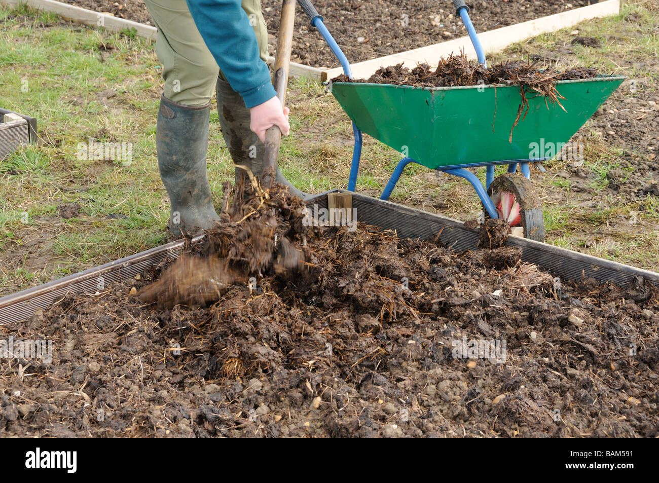 Gardener applying farmyard manure to raised beds Norfolk ...