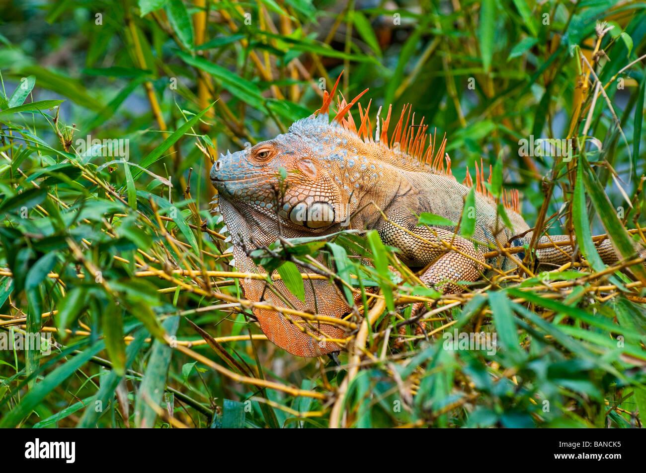 A green iguana in breeding color in a tree in Costa Rica, Central ...