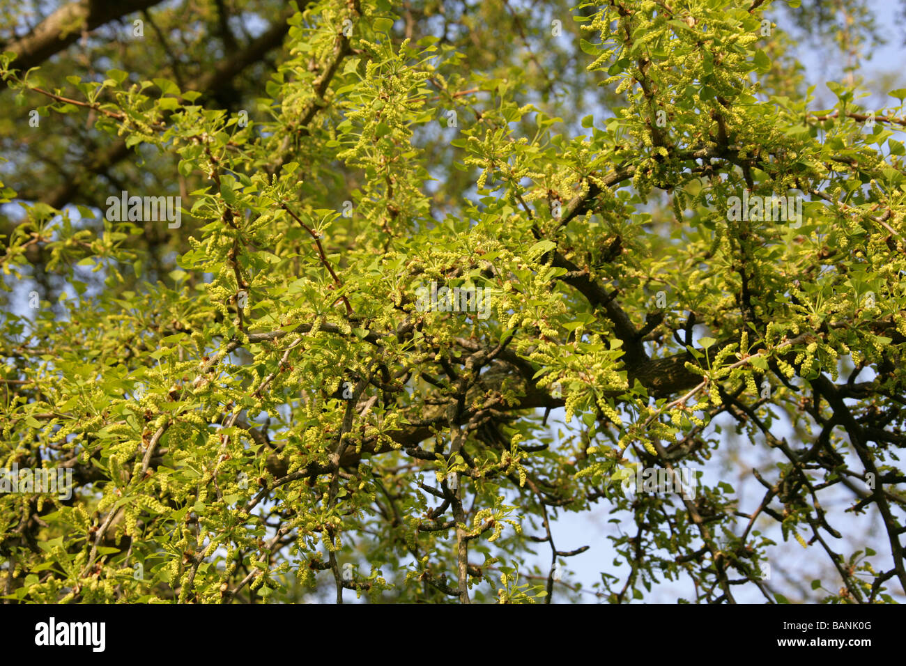 Flower Catkins of the Maidenhair Tree, Ginkgo biloba, Ginkgoaceae ...