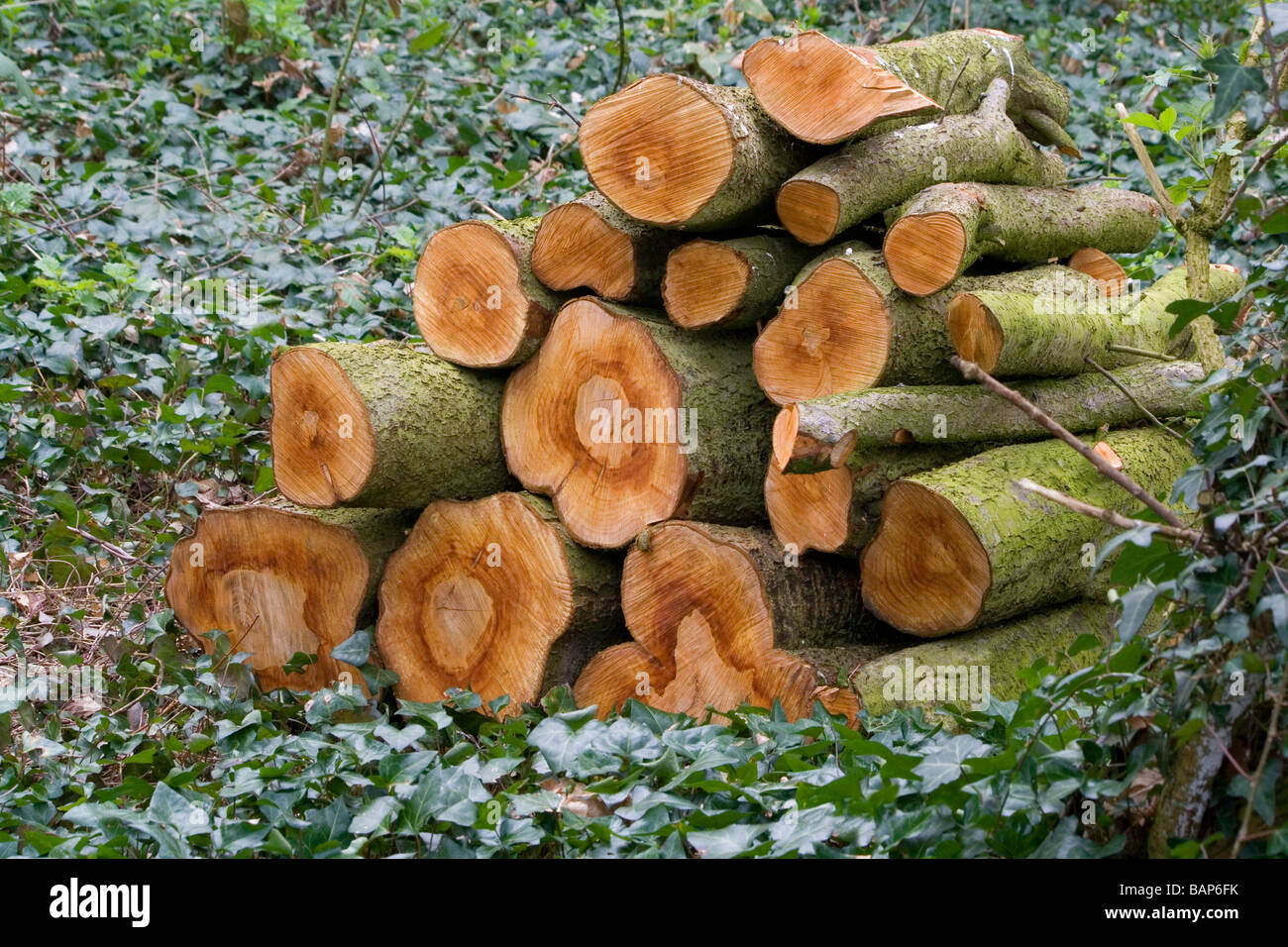 Log Pile Left On Forest Floor To Provide Shelter For Small Animals And  Enrich The Soil