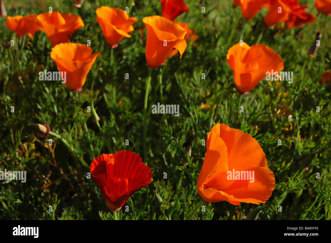 Field of california poppies california state flower stock photo field of california poppies california state flower mightylinksfo