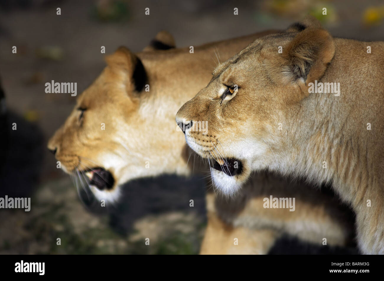 Lions walking together - photo#5