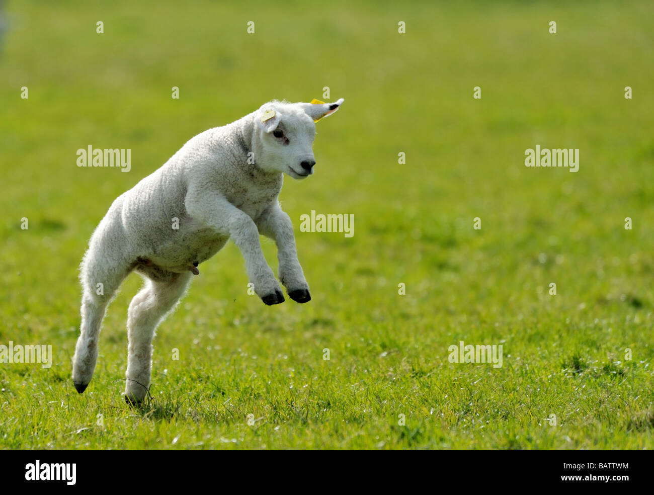 Cute Lamb Running And Jumping In Spring The Netherlands