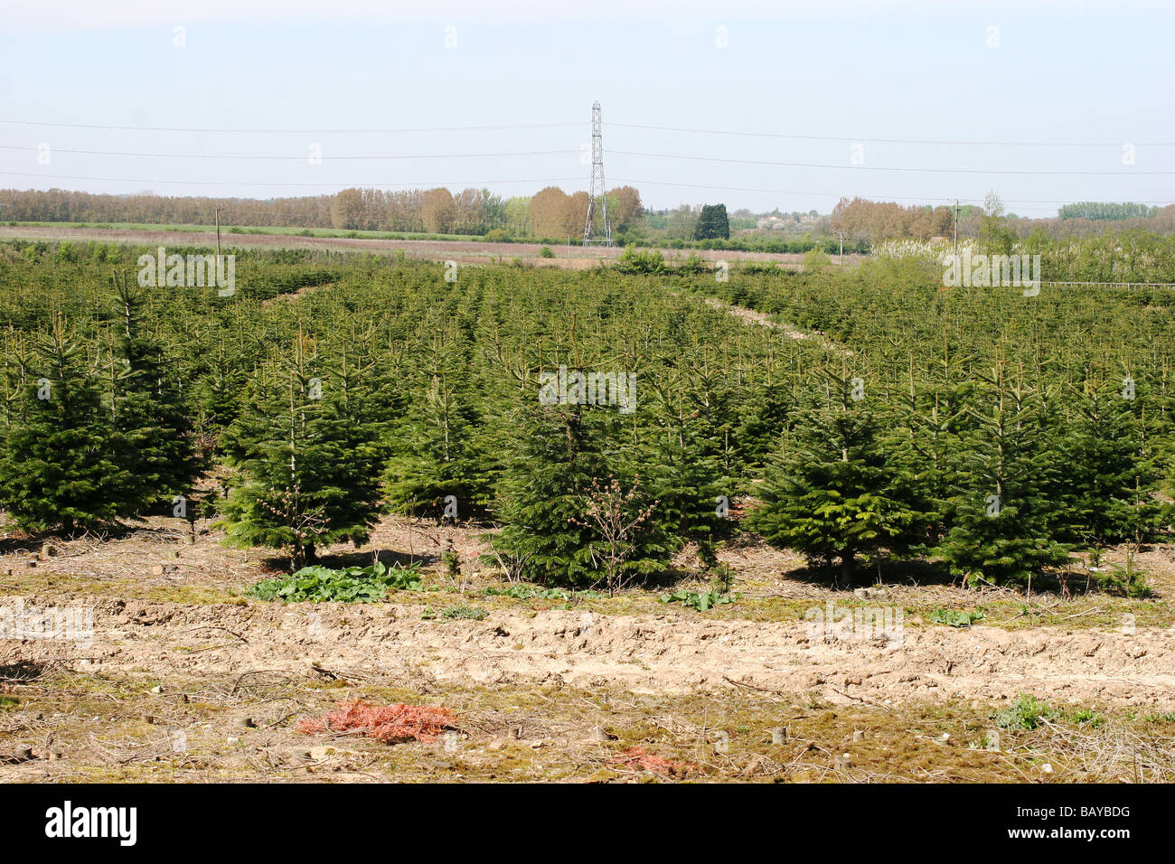 Christmas Tree Field Kent Uk