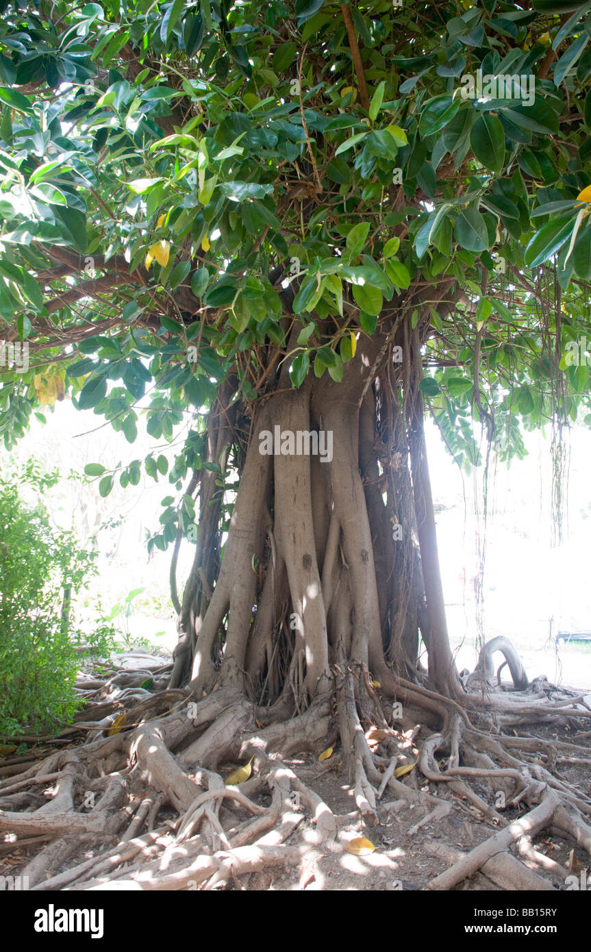 ficus elastica also called the rubber fig stock photo