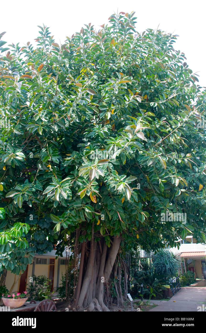 Ordinaire Ficus Elastica Also Called The Rubber Fig