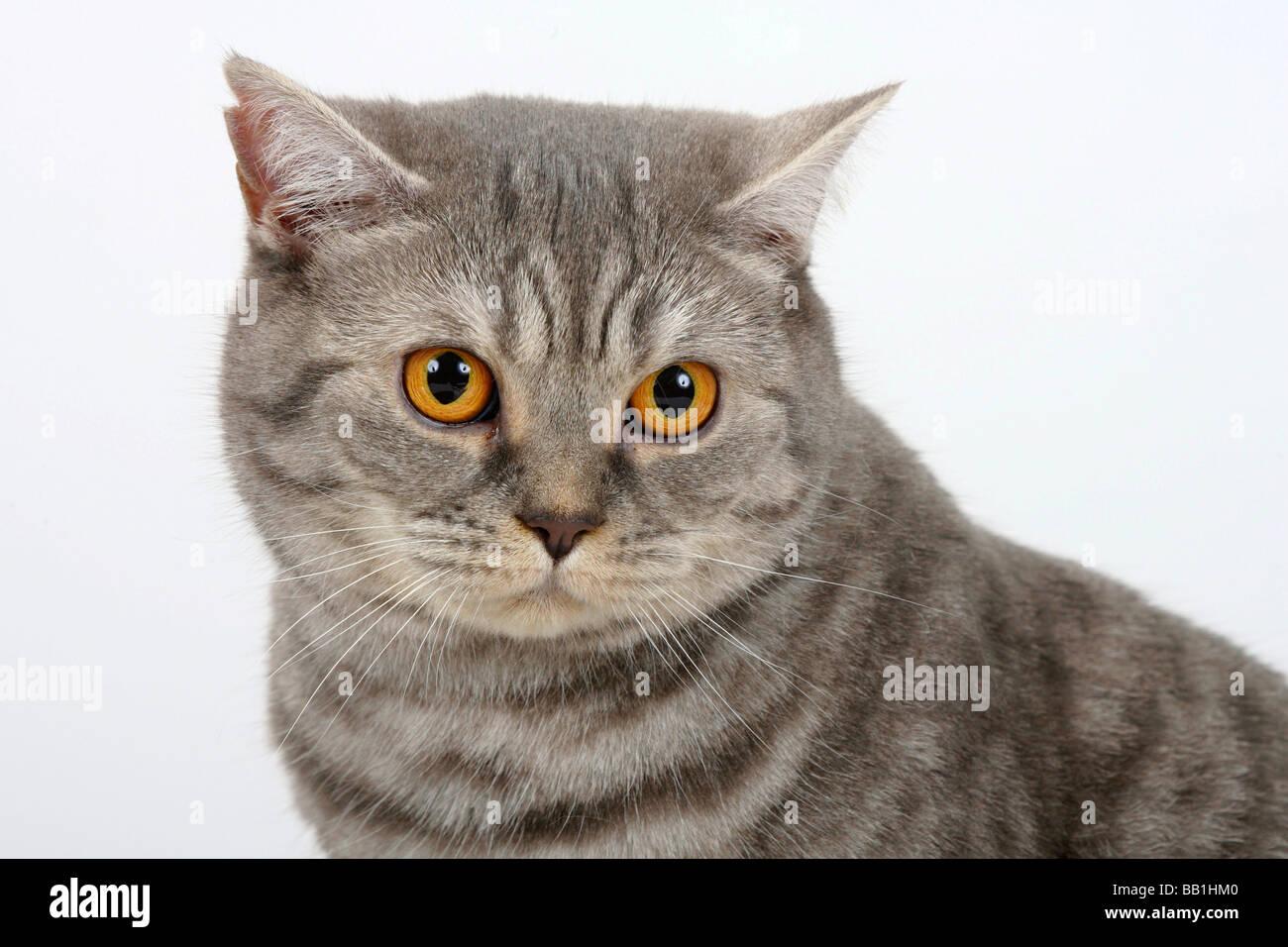 British Shorthair Cat blue silver tabby Stock Royalty Free