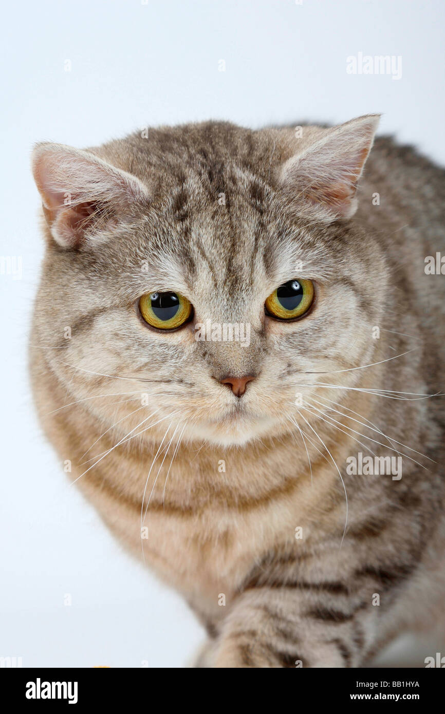 British Shorthair Cats chocolate silver tabby and blue silver ...
