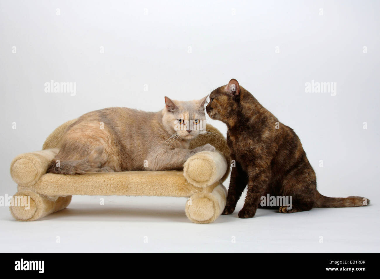 British Shorthair Cats chocolate tortie and chocolate silver tabby ...
