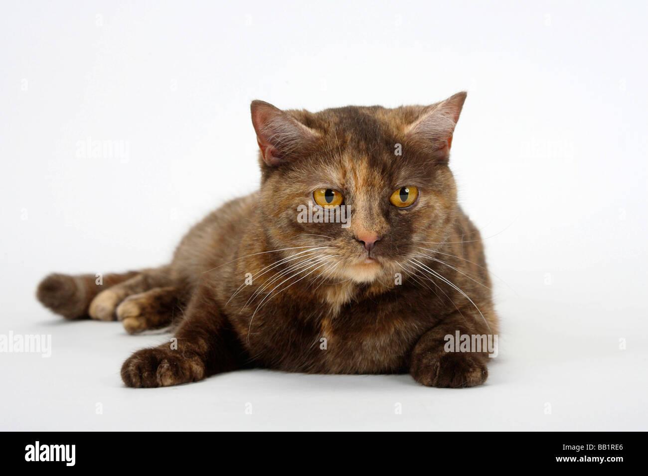 British Shorthair Cats Chocolate Tortie Stock Photos & British ...