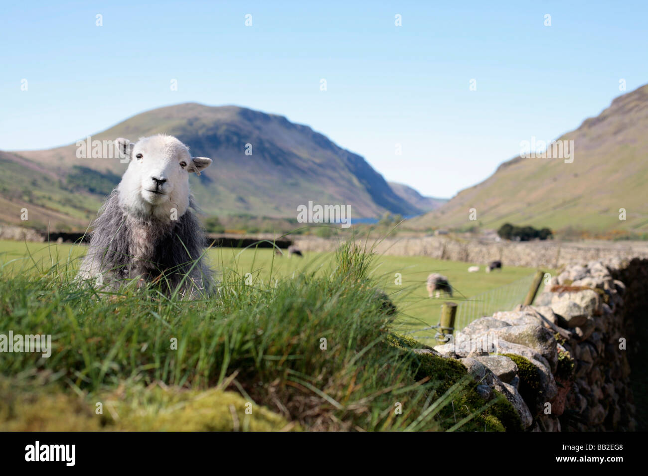 Populaire Herdwick sheep, Lake District UK Stock Photo, Royalty Free Image  VC42