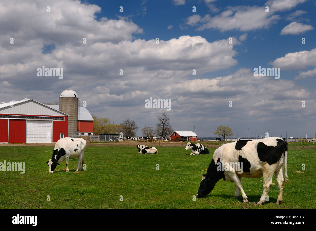 Cow on green pasture with red barn with grain silo royalty free stock - Herd Of Holstein Dairy Cows In A Farm Pasture With A Large Red Barn Vaughan Ontario
