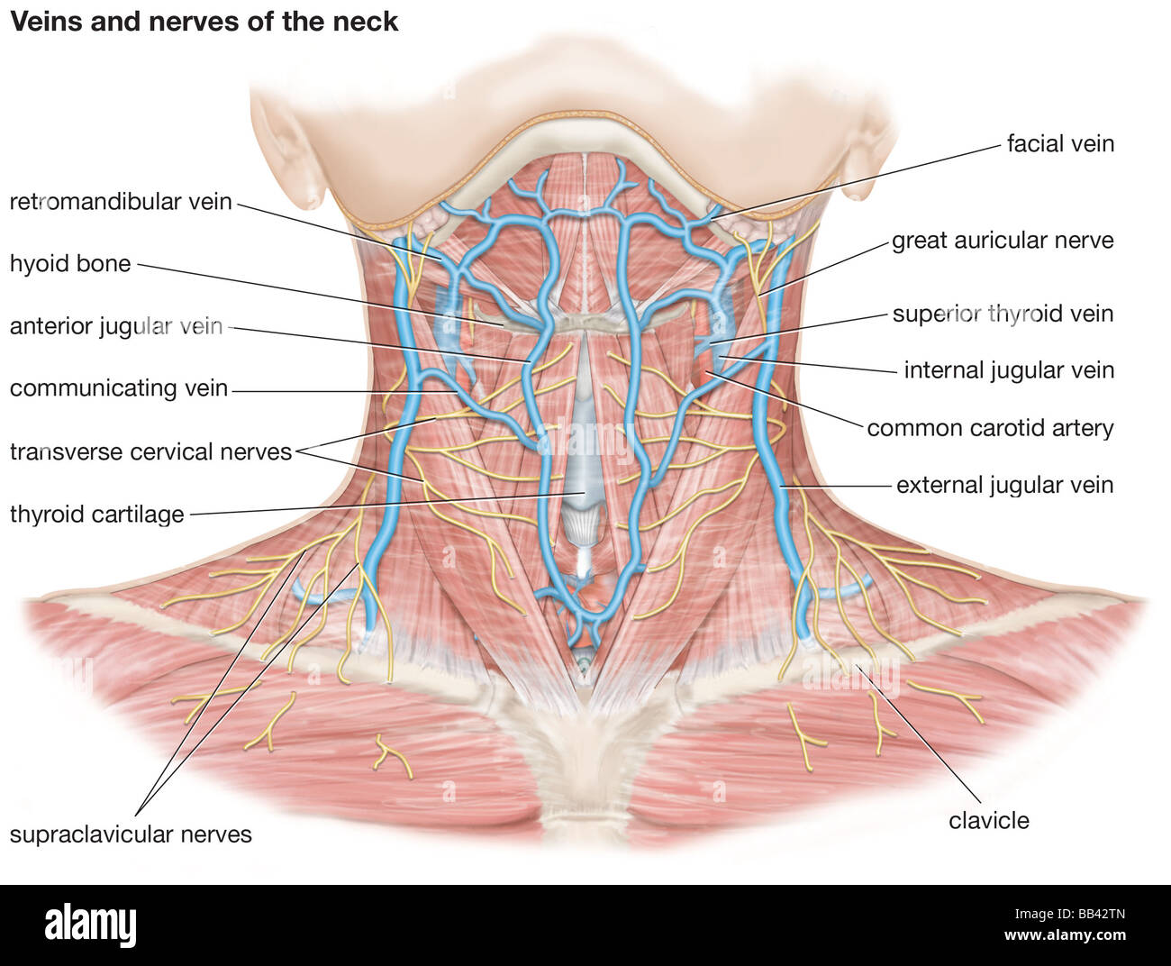 Veins And Nerves Of The Neck Stock Photo, Royalty Free Image ...