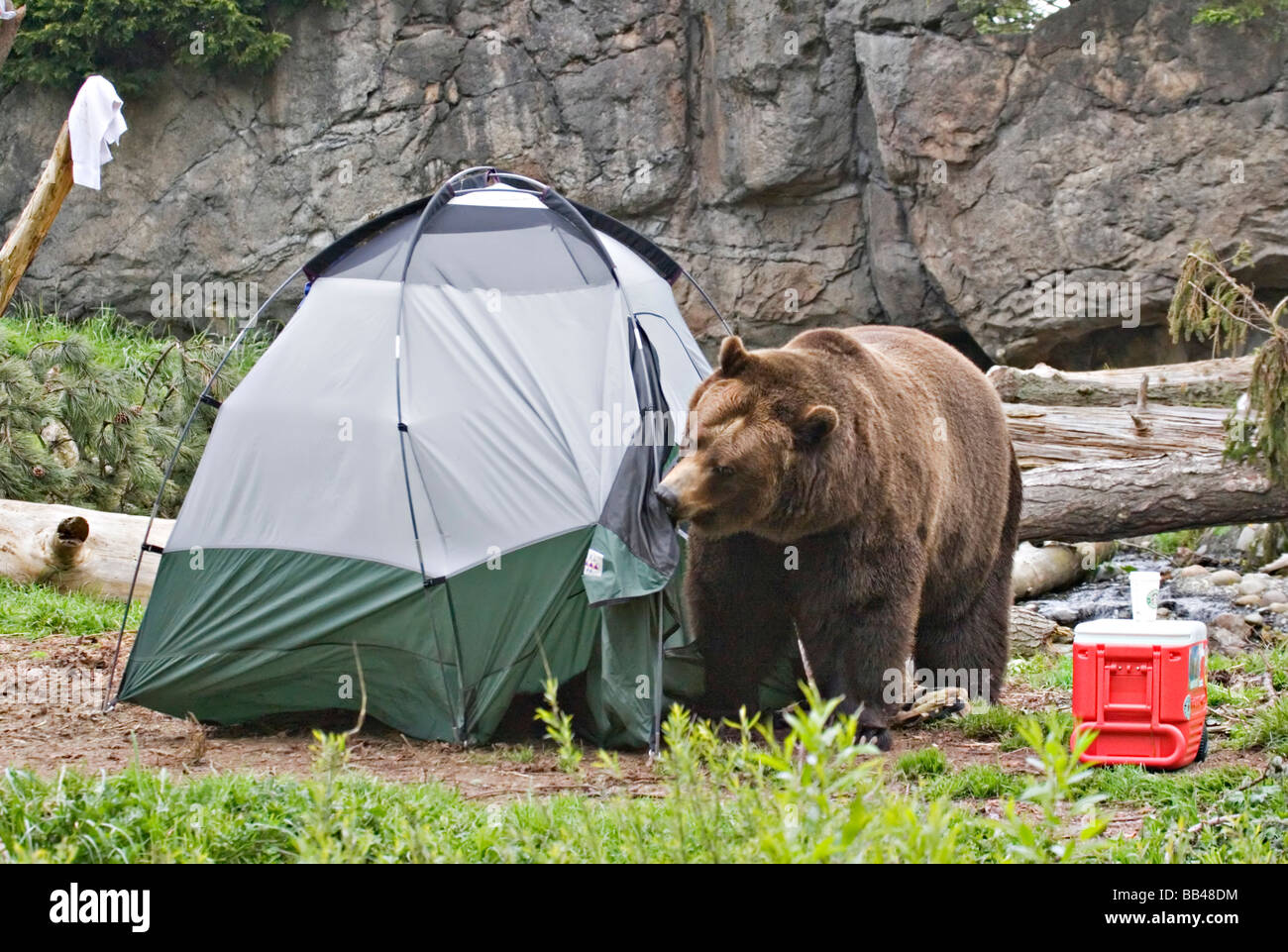 USA Washington Seattle Woodland Park Zoo. A Brown bear breaking into a tent at a c&site : usa tent - memphite.com