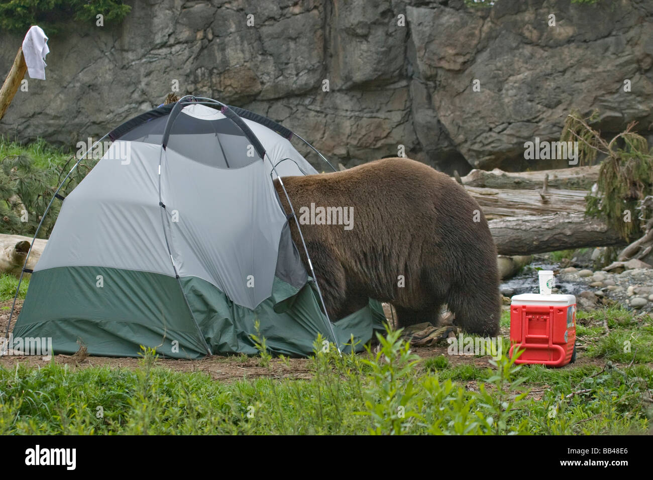 USA Washington Seattle Woodland Park Zoo. A Brown bear breaking into a tent at a c&site & USA Washington Seattle Woodland Park Zoo. A Brown bear breaking ...