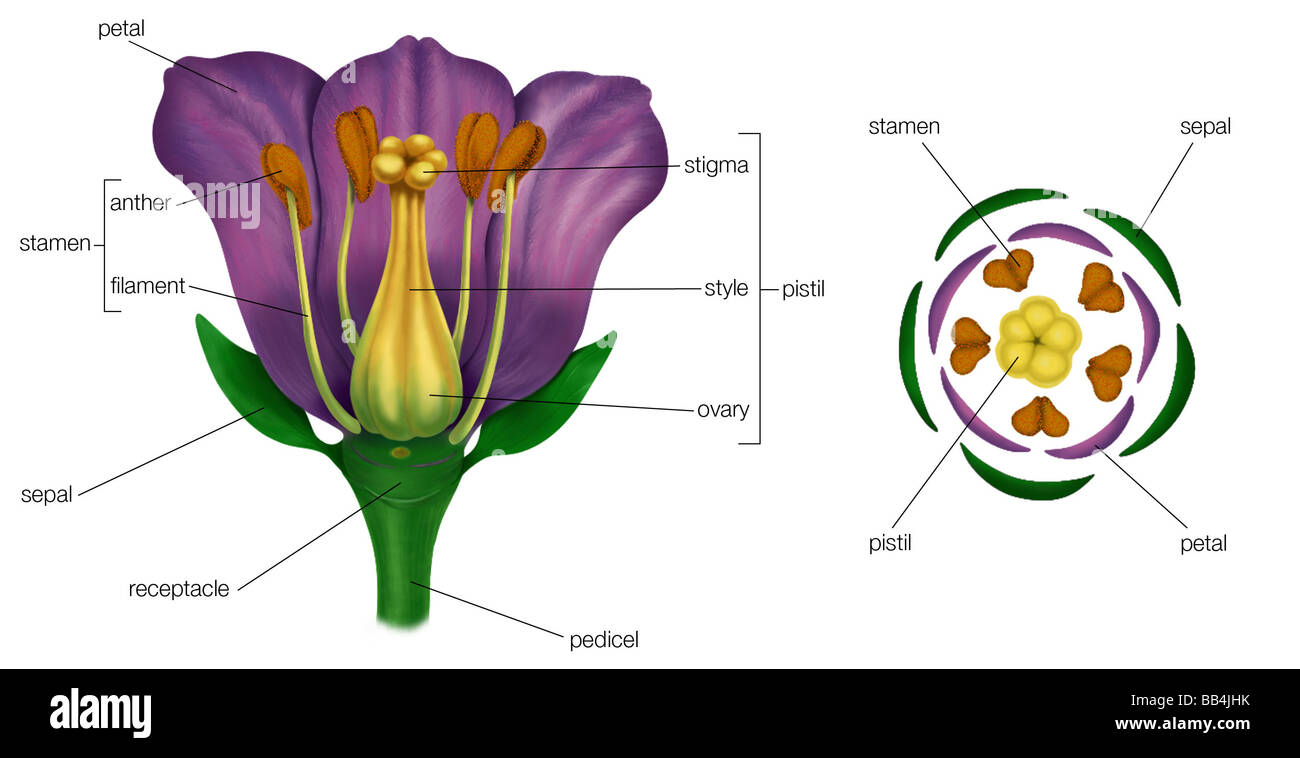 Flower reproductive parts stock photos flower reproductive parts generalized flower with parts left diagram showing arrangement of floral parts in cross pooptronica Image collections