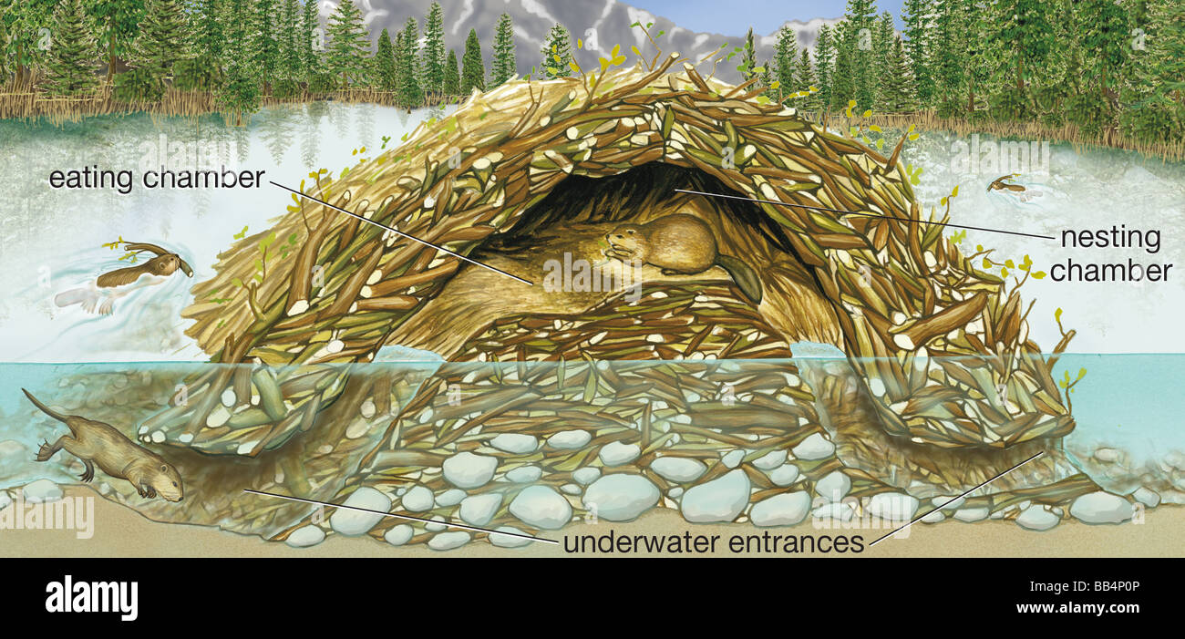 Cross section of a beaver lodge stock photo royalty free for Castor habitat