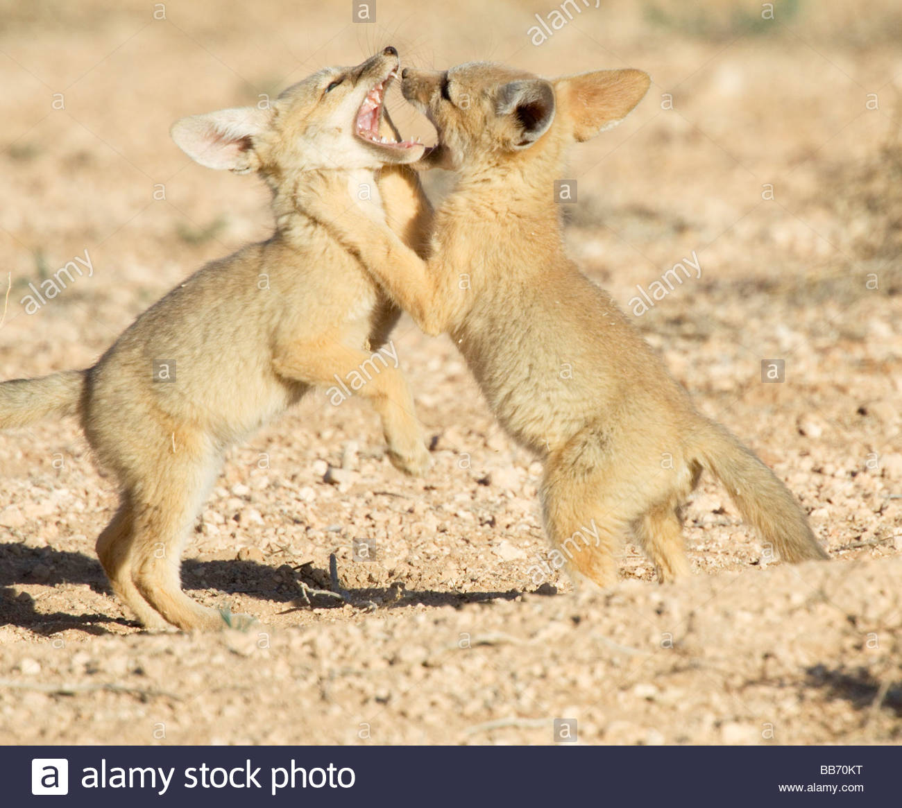 kit-foxes-vulpes-macrotis-pups-playing-roughhousing-BB70KT.jpg