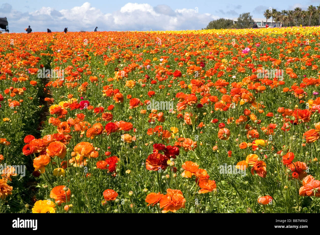 Colorful ranunculus flowers grow at The Flower Fields of Carlsbad Stock