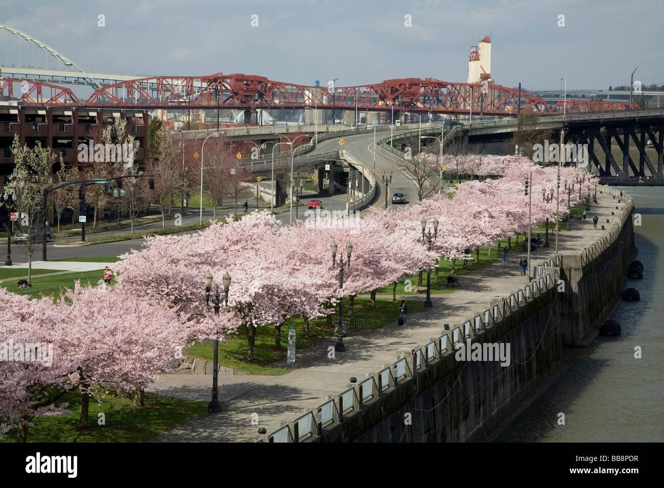 spring blossoms along portland waterfront portland