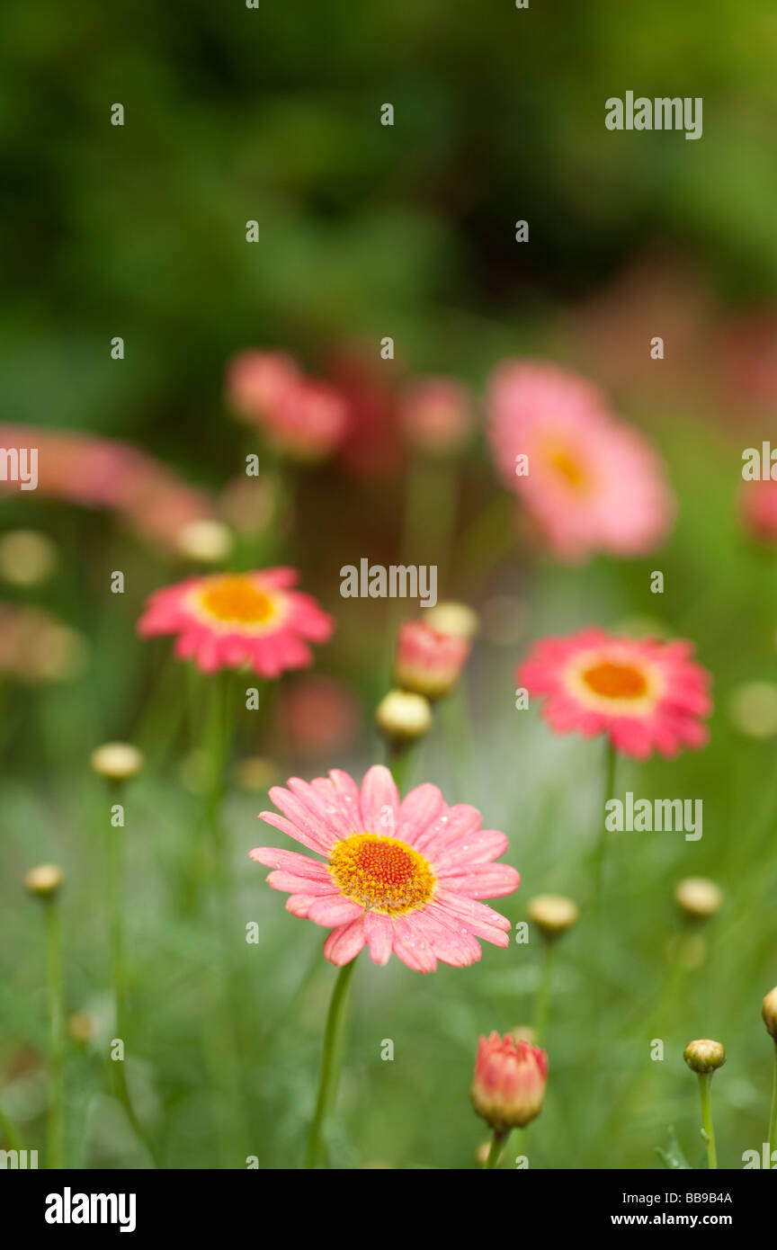 Pink daisy type flower blooms growing in a meadow with shallow stock photo pink daisy type flower blooms growing in a meadow with shallow depth of field dhlflorist Images