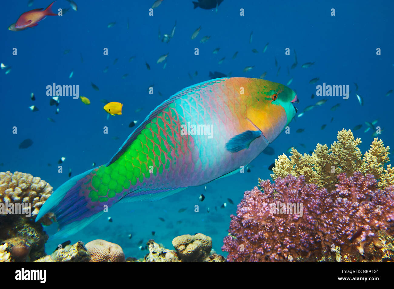 Parrot fish scarus gibbus scaridae coral reef in red for Red sea fish