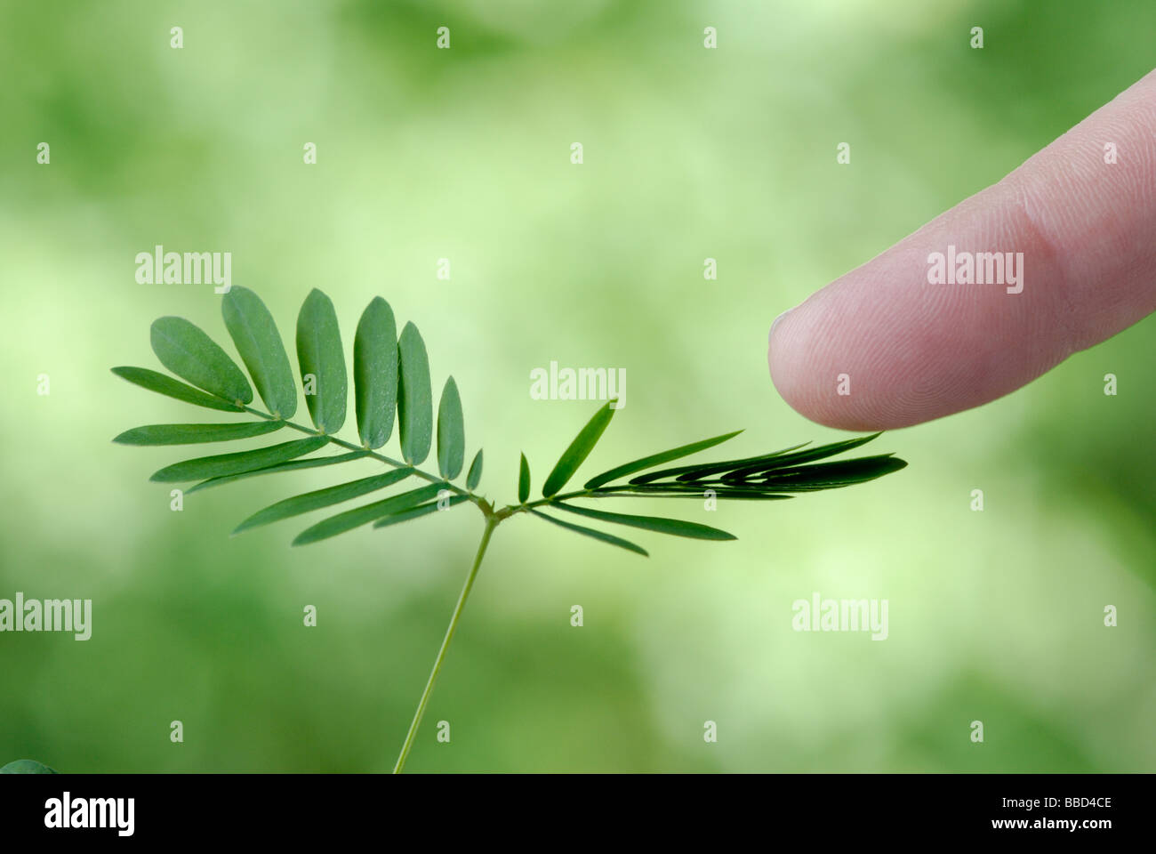 sensitive plant mimosa pudica see image bbd4cf for the before stock photo royalty free image. Black Bedroom Furniture Sets. Home Design Ideas