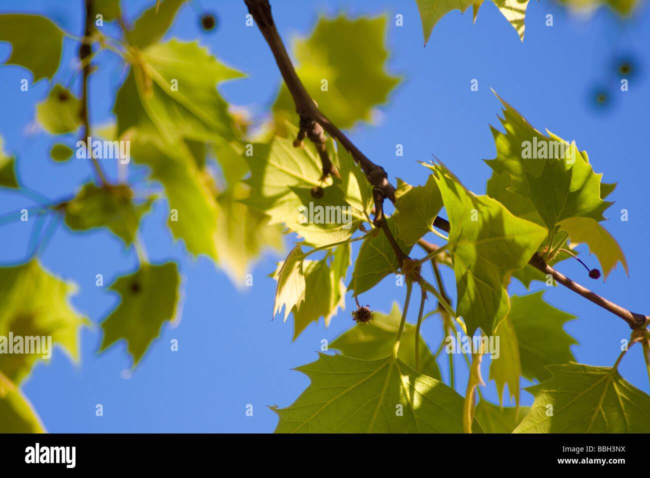 sharp focus shot of tree leaves against a deep blue sky stock