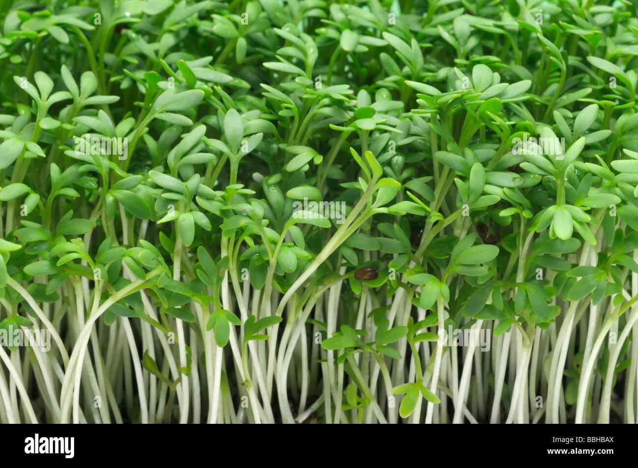 Garden Cress Pepperwort Lepidium sativum young plants Stock